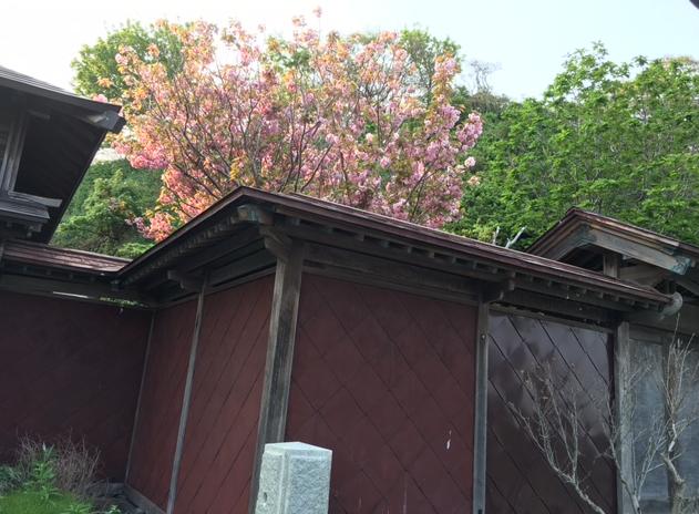 茨木邸 八重桜